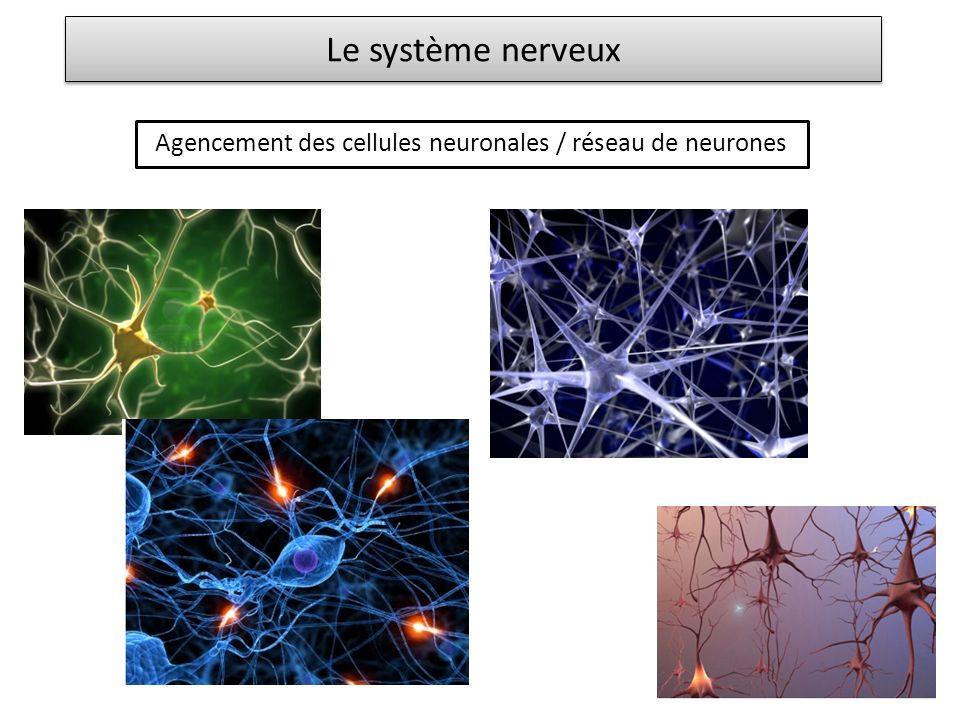 Le système nerveux Agencement des cellules neuronales / réseau de neurones