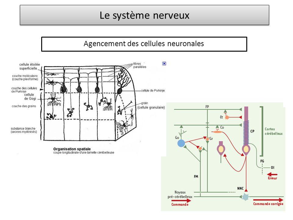 Le système nerveux Agencement des cellules neuronales