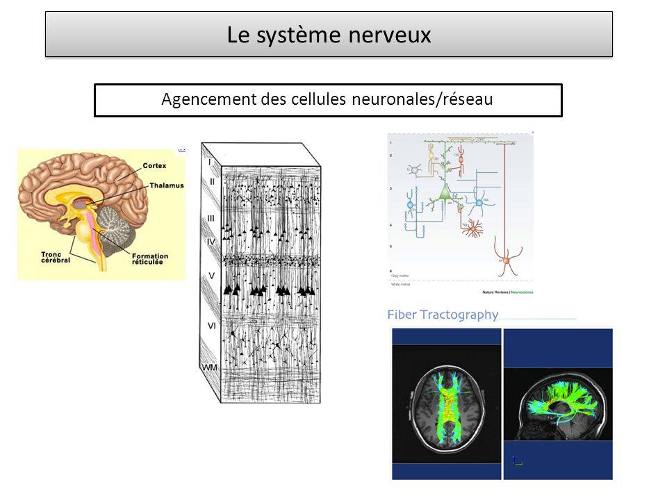 Le système nerveux Agencement des cellules neuronales/réseau