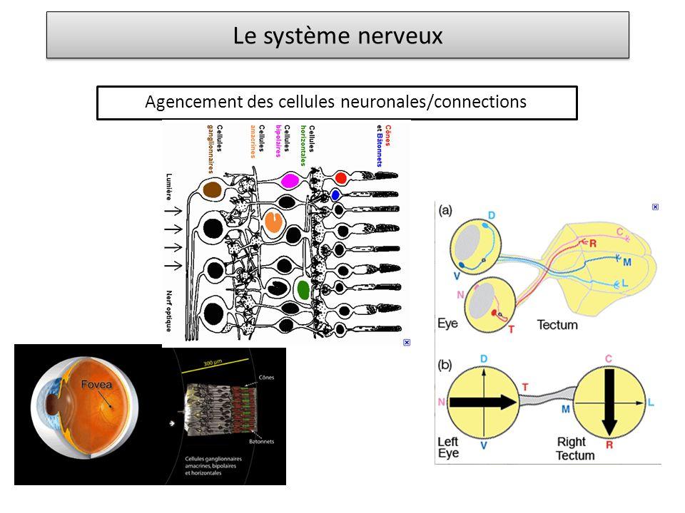 Le système nerveux Agencement des cellules neuronales/connections