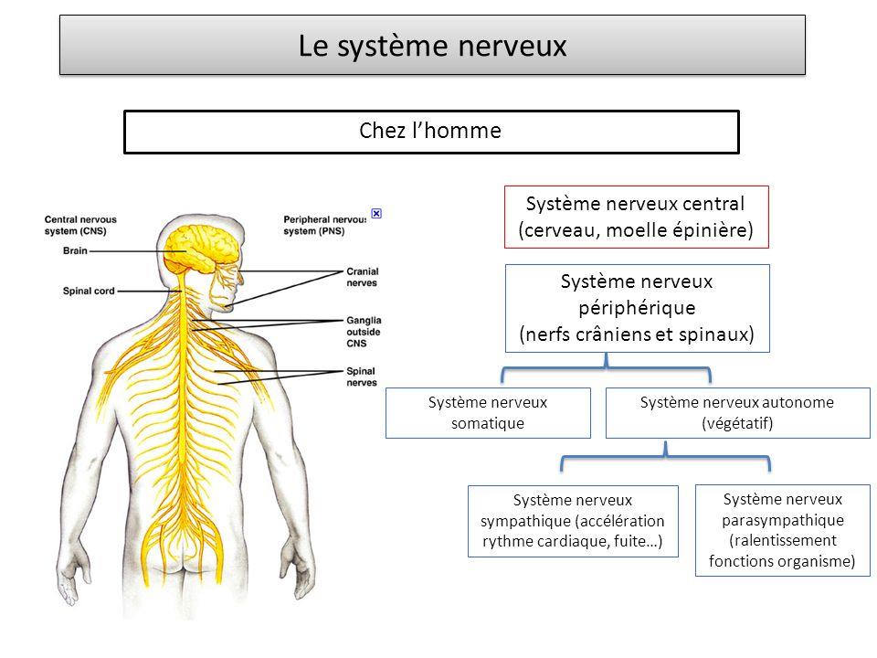 Le système nerveux Chez lhomme Système nerveux central (cerveau, moelle épinière) Système nerveux périphérique (nerfs crâniens et spinaux) Système ner