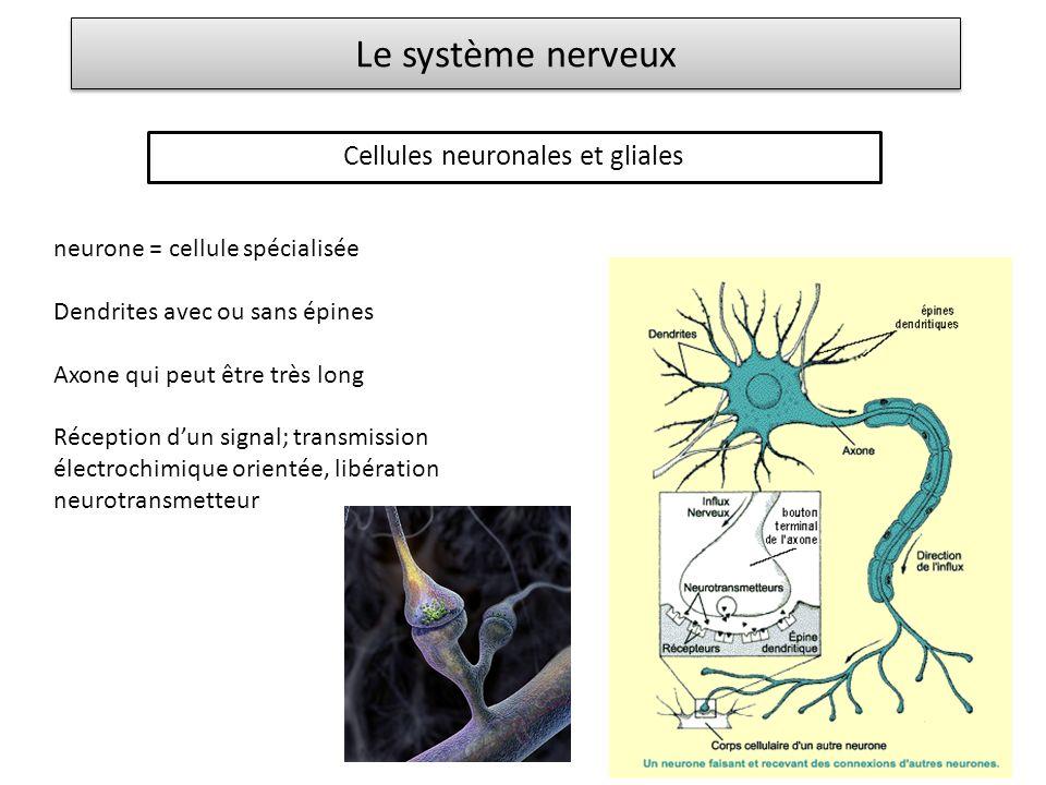 Le système nerveux Cellules neuronales et gliales neurone = cellule spécialisée Dendrites avec ou sans épines Axone qui peut être très long Réception