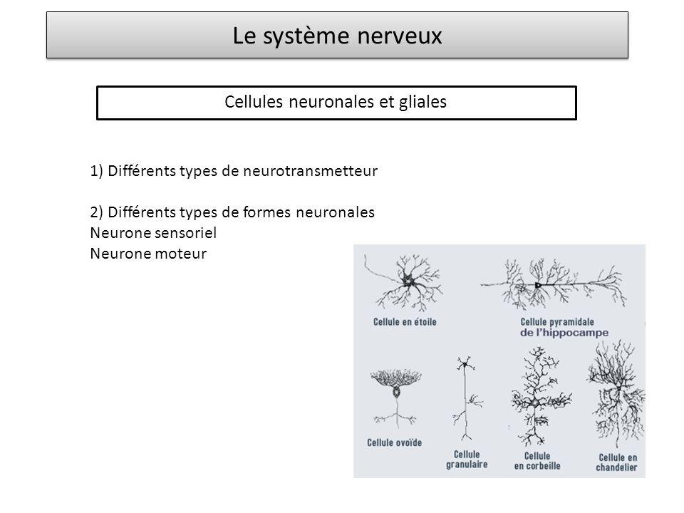 Le système nerveux Cellules neuronales et gliales 1) Différents types de neurotransmetteur 2) Différents types de formes neuronales Neurone sensoriel