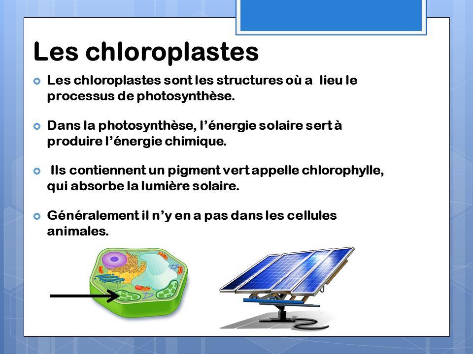 Les chloroplastes Les chloroplastes sont les structures où a lieu le processus de photosynthèse. Dans la photosynthèse, lénergie solaire sert à produi