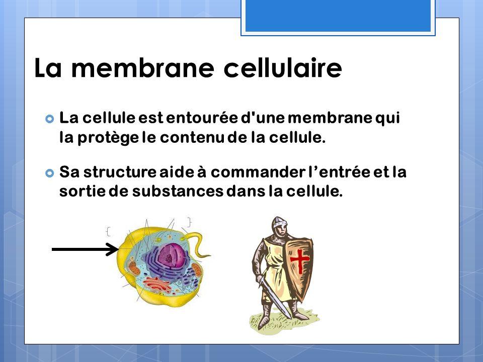 La membrane cellulaire La cellule est entourée d'une membrane qui la protège le contenu de la cellule. Sa structure aide à commander lentrée et la sor