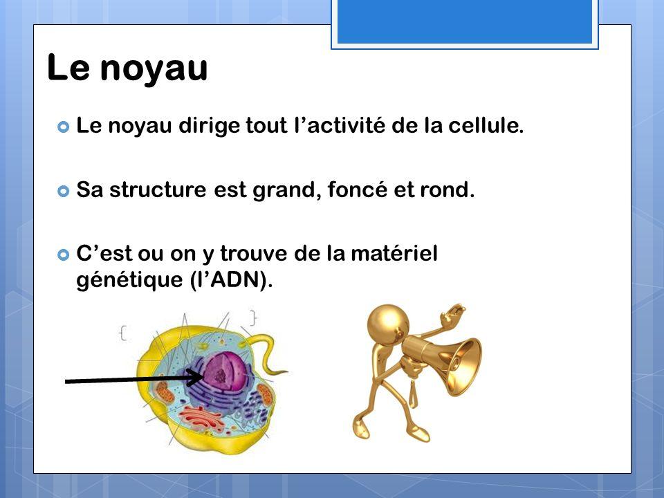Les mitochondries Cet organite produit de lénergie pour la cellule à partir des nutriments et loxygène.