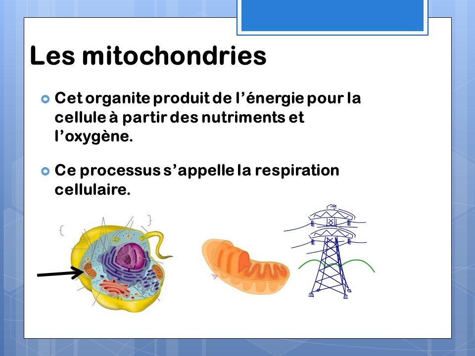 Les mitochondries Cet organite produit de lénergie pour la cellule à partir des nutriments et loxygène. Ce processus sappelle la respiration cellulair