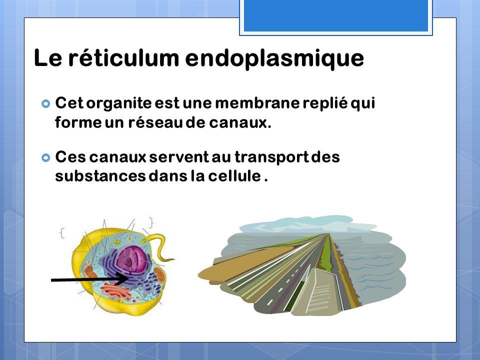 Le réticulum endoplasmique Cet organite est une membrane replié qui forme un réseau de canaux. Ces canaux servent au transport des substances dans la