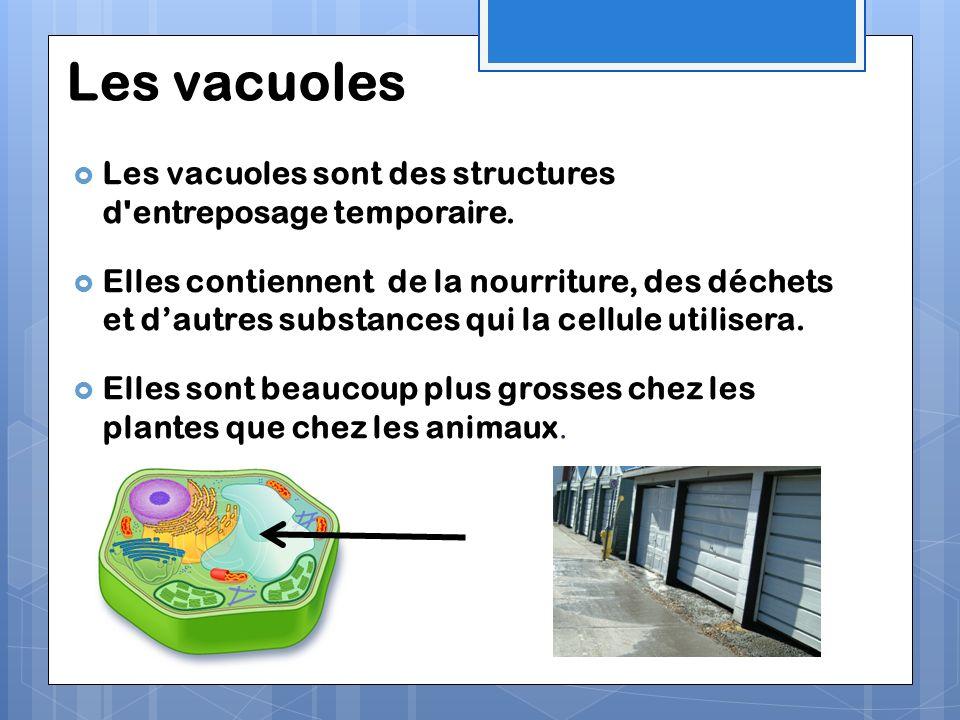 Les vacuoles Les vacuoles sont des structures d'entreposage temporaire. Elles contiennent de la nourriture, des déchets et dautres substances qui la c