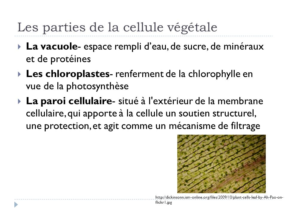 Les parties de la cellule végétale La vacuole- espace rempli deau, de sucre, de minéraux et de protéines Les chloroplastes- renferment de la chlorophy