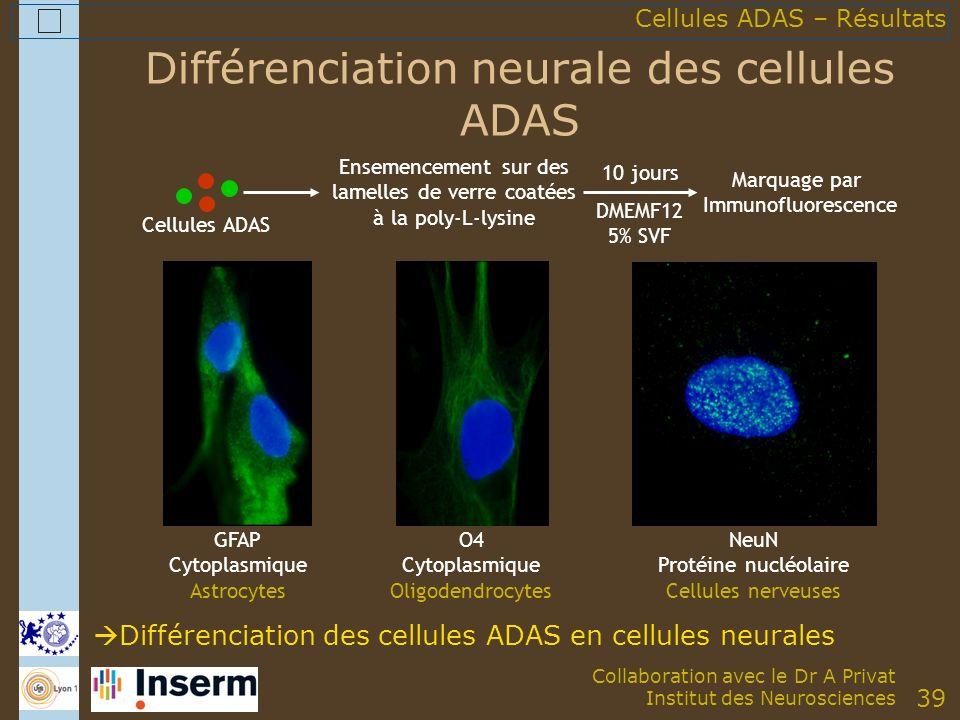 39 Différenciation neurale des cellules ADAS Cellules ADAS Ensemencement sur des lamelles de verre coatées à la poly-L-lysine 10 jours DMEMF12 5% SVF Marquage par Immunofluorescence GFAP Cytoplasmique Astrocytes O4 Cytoplasmique Oligodendrocytes NeuN Protéine nucléolaire Cellules nerveuses Différenciation des cellules ADAS en cellules neurales Cellules ADAS – Résultats Collaboration avec le Dr A Privat Institut des Neurosciences