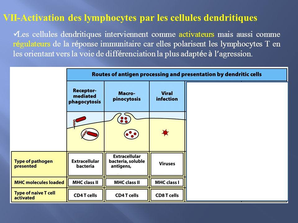 VII-Activation des lymphocytes par les cellules dendritiques Les cellules dendritiques interviennent comme activateurs mais aussi comme r é gulateurs