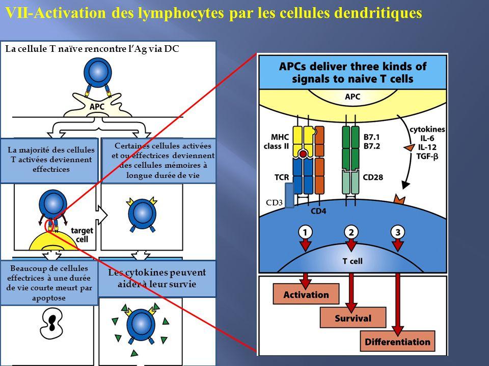 VII-Activation des lymphocytes par les cellules dendritiques La cellule T naïve rencontre lAg via DC La majorité des cellules T activées deviennent ef