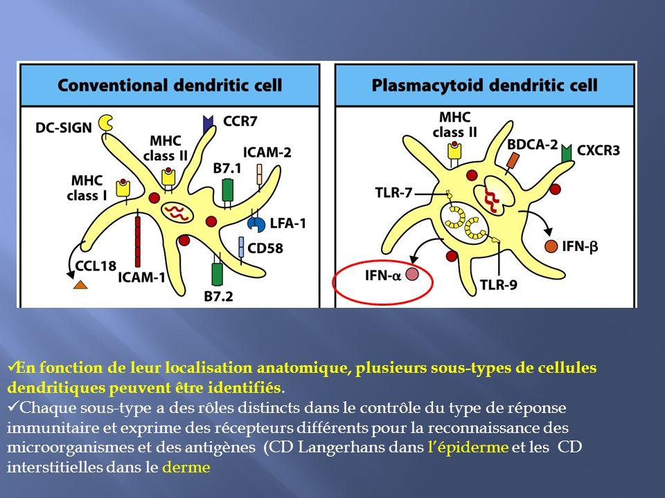 En fonction de leur localisation anatomique, plusieurs sous-types de cellules dendritiques peuvent être identifiés. Chaque sous-type a des rôles disti