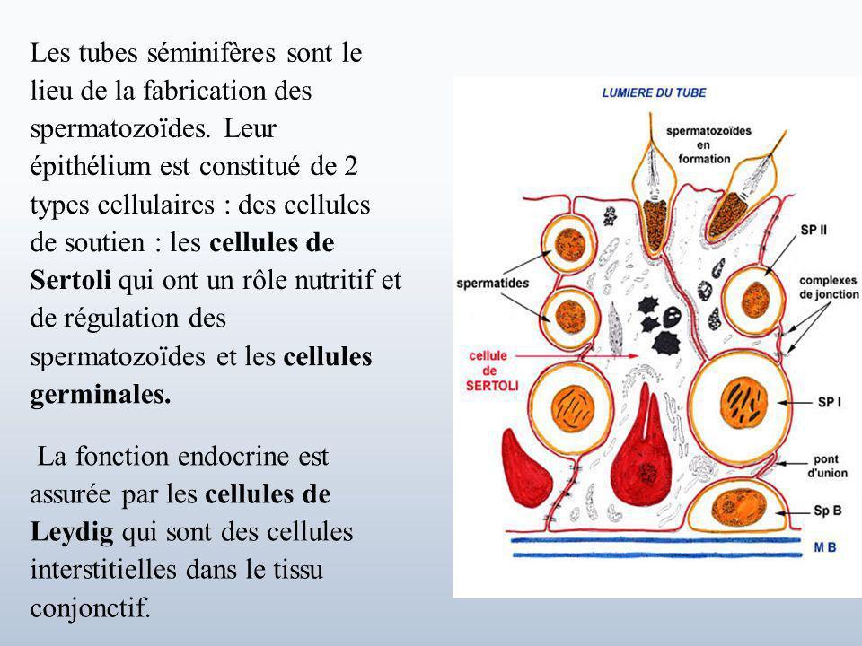 Les tubes séminifères sont le lieu de la fabrication des spermatozoïdes.