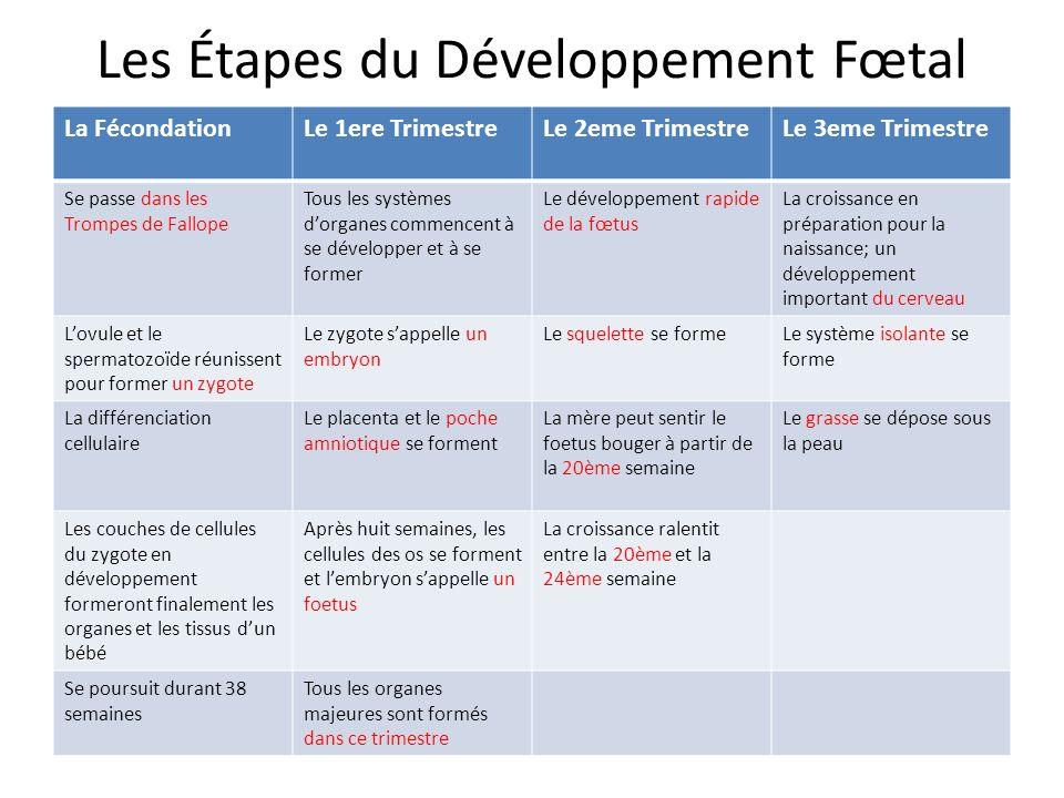 Les Étapes du Développement Fœtal La FécondationLe 1ere TrimestreLe 2eme TrimestreLe 3eme Trimestre Se passe dans les Trompes de Fallope Tous les syst