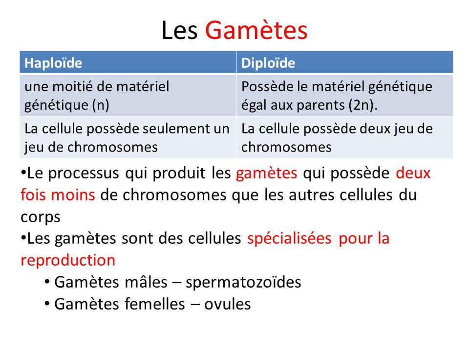 Les Gamètes HaploïdeDiploïde une moitié de matériel génétique (n) Possède le matériel génétique égal aux parents (2n). La cellule possède seulement un
