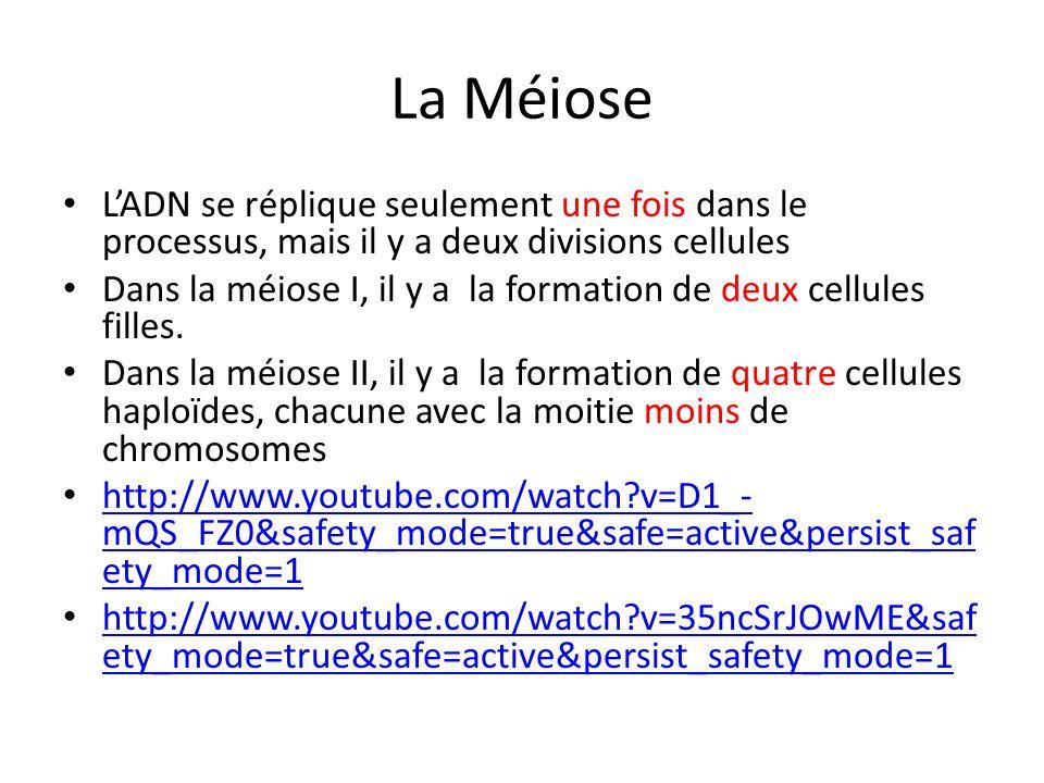 La Méiose LADN se réplique seulement une fois dans le processus, mais il y a deux divisions cellules Dans la méiose I, il y a la formation de deux cel