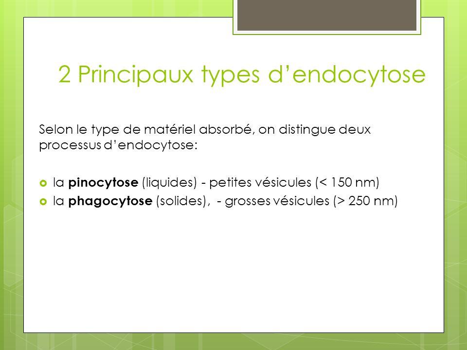 La phagocytose la phagocytose permet: Labsorption de nutriments (source denergie, construction de materiaux cellulaire) la défense de l organisme et correspond à l incorporation de bactéries ou de débris cellulaires solides qui vont être « digérés » par la cellule Ex : Les globules blancs (leucocytes)entrent en coopération avec les cellules effectrices de la phagocytose(les phagocytes), pour détruire spécifiquement les molécules visées Regarder lexplication dun médecin