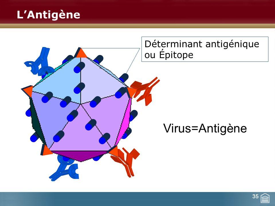 LAntigène Virus=Antigène Déterminant antigénique ou Épitope 35
