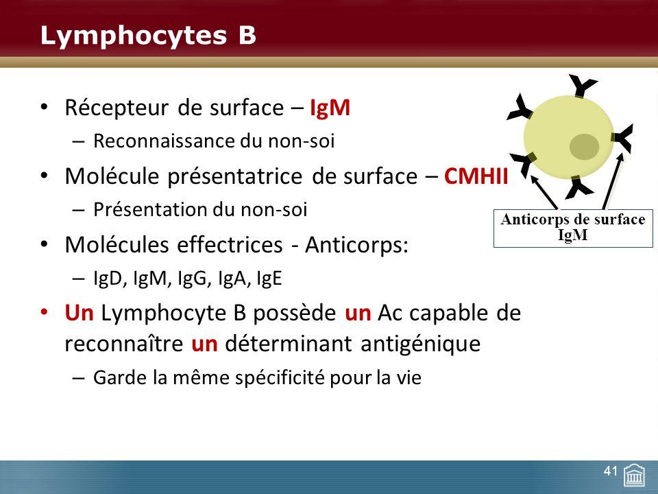 Lymphocytes B Récepteur de surface – IgM – Reconnaissance du non-soi Molécule présentatrice de surface – CMHII – Présentation du non-soi Molécules eff