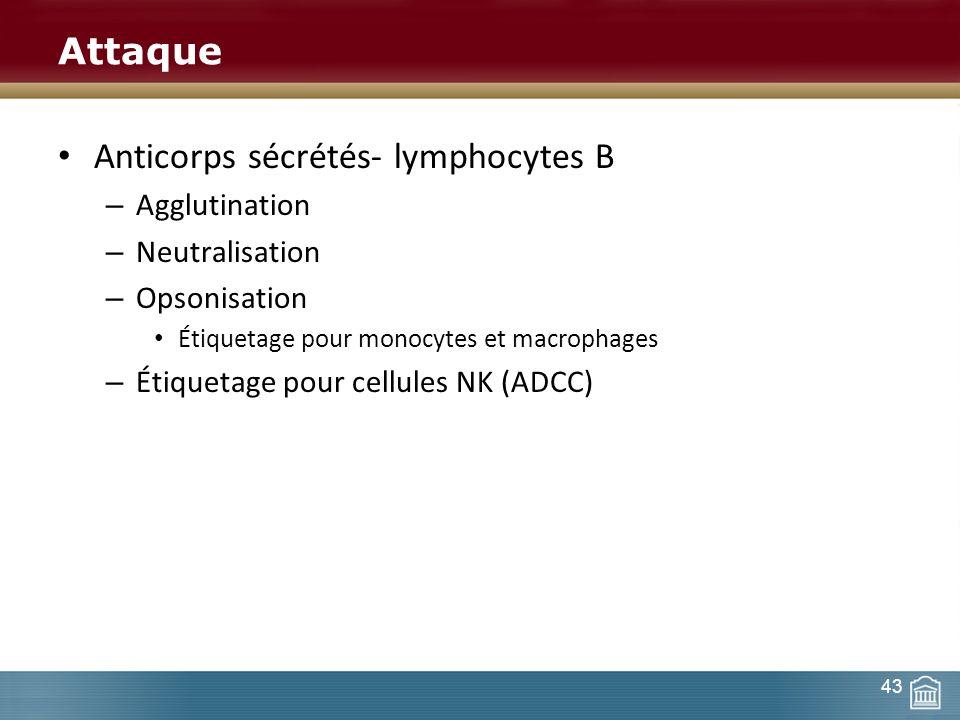 Attaque Anticorps sécrétés- lymphocytes B – Agglutination – Neutralisation – Opsonisation Étiquetage pour monocytes et macrophages – Étiquetage pour c