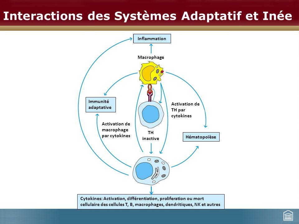 Interactions des Systèmes Adaptatif et Inée Immunité adaptative Hématopoïèse Inflammation Activation de macrophage par cytokines Activation de TH par