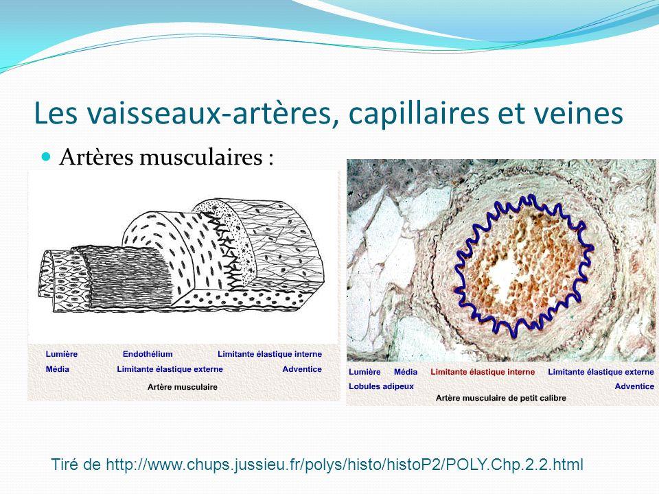 Les vaisseaux-artères, capillaires et veines Artères musculaires : Tiré de http://www.chups.jussieu.fr/polys/histo/histoP2/POLY.Chp.2.2.html