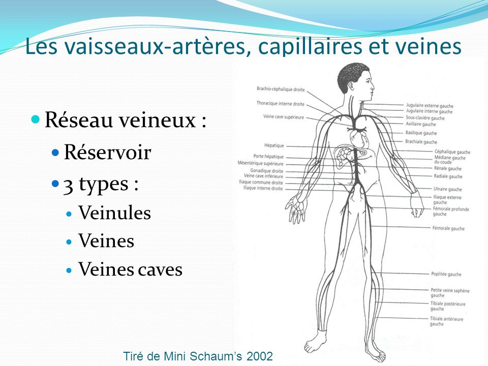 Les vaisseaux-artères, capillaires et veines Réseau veineux : Réservoir 3 types : Veinules Veines Veines caves Tiré de Mini Schaums 2002