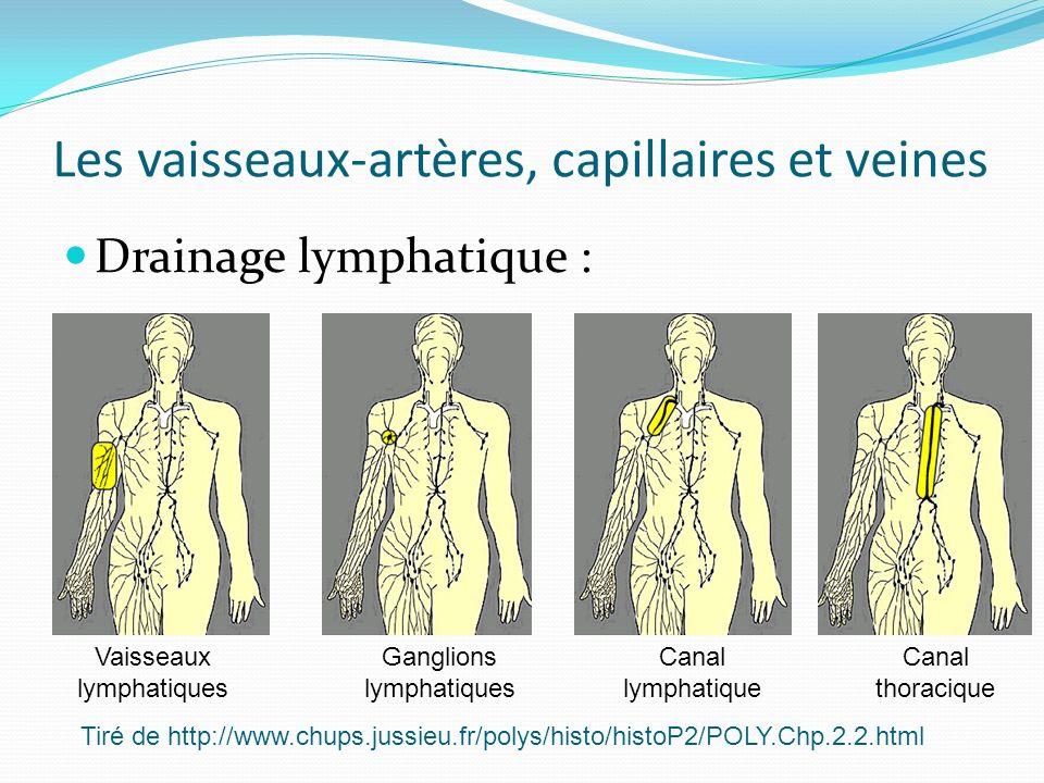 Les vaisseaux-artères, capillaires et veines Drainage lymphatique : Vaisseaux lymphatiques Ganglions lymphatiques Canal lymphatique Canal thoracique T