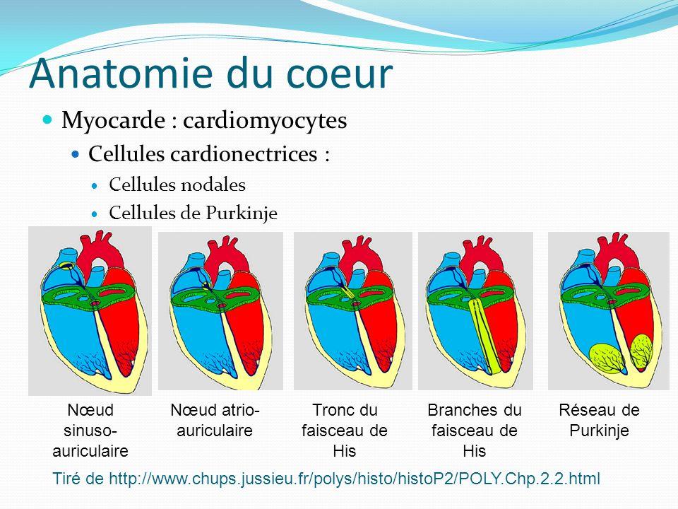 Anatomie du coeur Myocarde : cardiomyocytes Cellules cardionectrices : Cellules nodales Cellules de Purkinje Nœud sinuso- auriculaire Nœud atrio- auri
