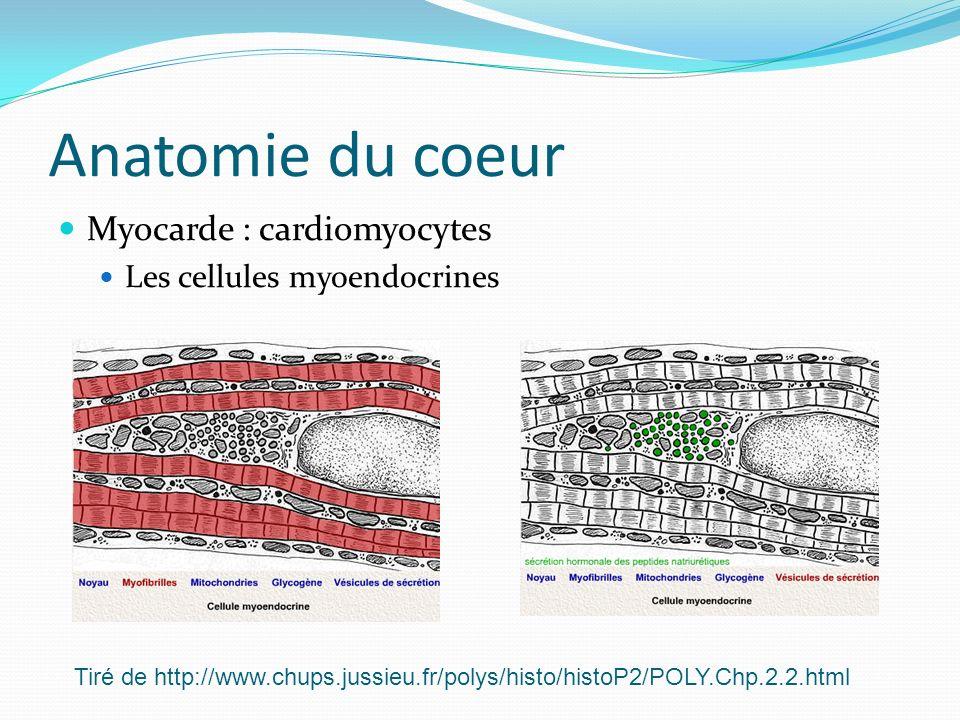 Anatomie du coeur Myocarde : cardiomyocytes Les cellules myoendocrines Tiré de http://www.chups.jussieu.fr/polys/histo/histoP2/POLY.Chp.2.2.html