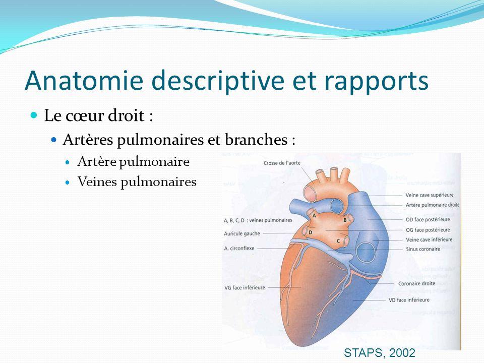 Anatomie descriptive et rapports Le cœur droit : Artères pulmonaires et branches : Artère pulmonaire Veines pulmonaires STAPS, 2002