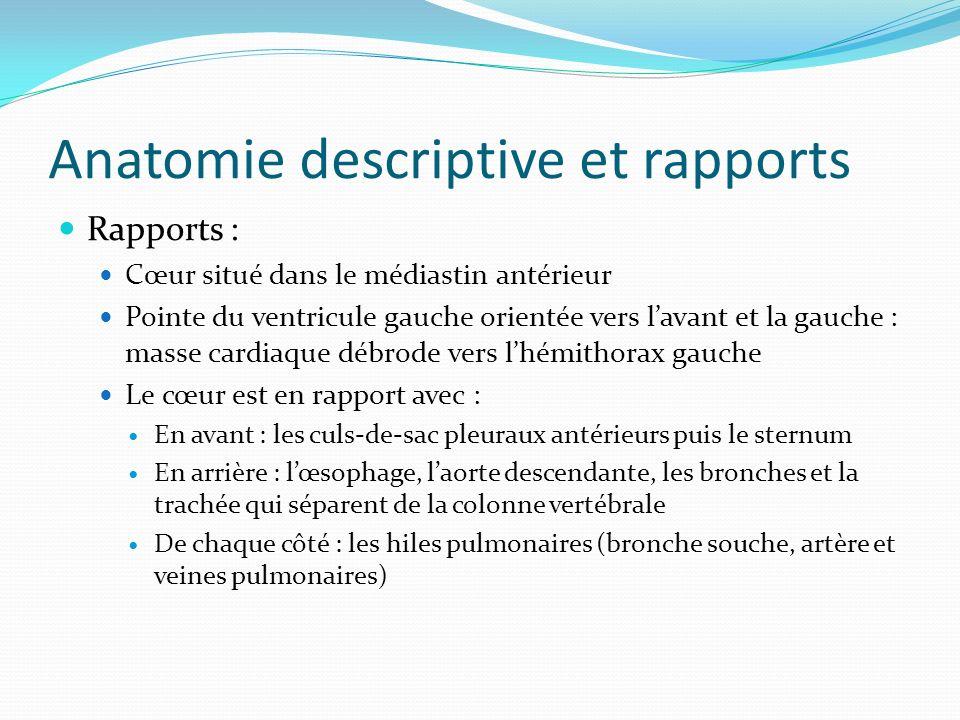 Anatomie descriptive et rapports Rapports : Cœur situé dans le médiastin antérieur Pointe du ventricule gauche orientée vers lavant et la gauche : mas