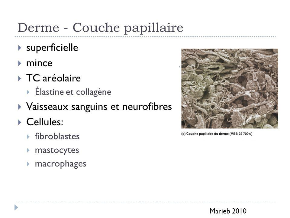 Derme - Couche papillaire superficielle mince TC aréolaire Élastine et collagène Vaisseaux sanguins et neurofibres Cellules: fibroblastes mastocytes macrophages Marieb 2010