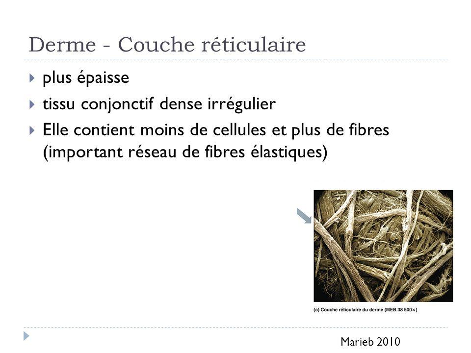 Derme - Couche réticulaire plus épaisse tissu conjonctif dense irrégulier Elle contient moins de cellules et plus de fibres (important réseau de fibre