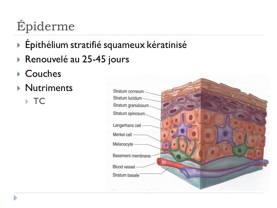 Épiderme Épithélium stratifié squameux kératinisé Renouvelé au 25-45 jours Couches Nutriments TC