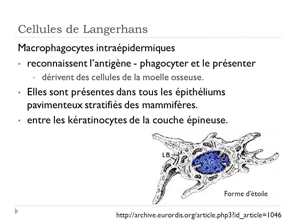 Cellules de Langerhans Macrophagocytes intraépidermiques reconnaissent lantigène - phagocyter et le présenter dérivent des cellules de la moelle osseuse.