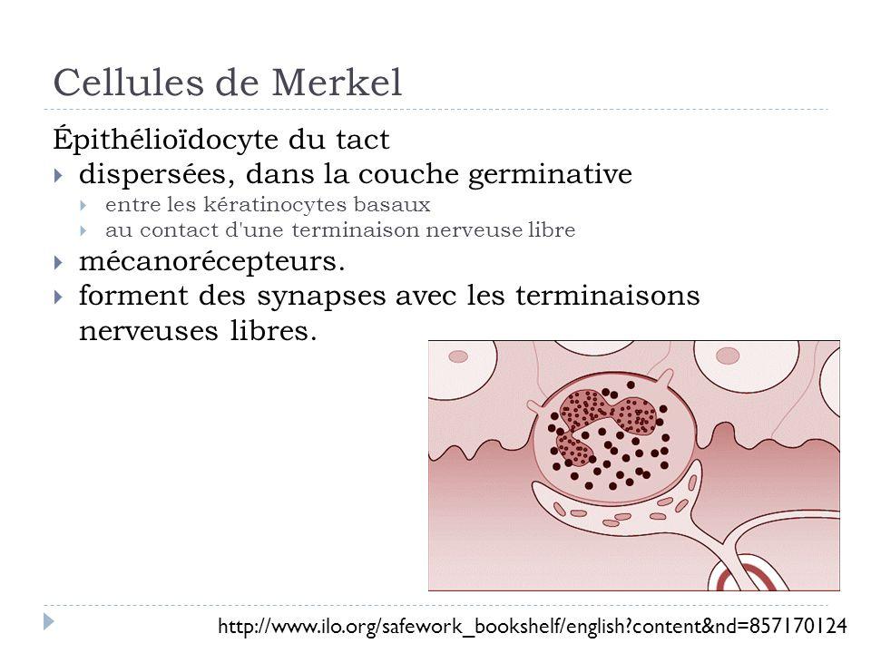 Cellules de Merkel Épithélioïdocyte du tact dispersées, dans la couche germinative entre les kératinocytes basaux au contact d une terminaison nerveuse libre mécanorécepteurs.