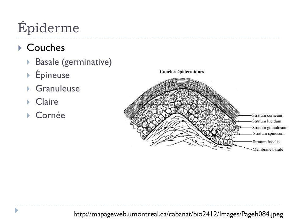Épiderme Couches Basale (germinative) Épineuse Granuleuse Claire Cornée http://mapageweb.umontreal.ca/cabanat/bio2412/Images/Pageh084.jpeg