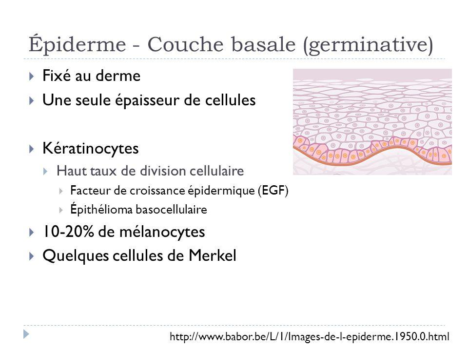 Épiderme - Couche basale (germinative) Fixé au derme Une seule épaisseur de cellules Kératinocytes Haut taux de division cellulaire Facteur de croissance épidermique (EGF) Épithélioma basocellulaire 10-20% de mélanocytes Quelques cellules de Merkel http://www.babor.be/L/1/Images-de-l-epiderme.1950.0.html