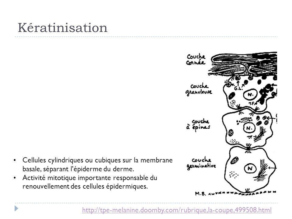 Cellules cylindriques ou cubiques sur la membrane basale, séparant l'épiderme du derme. Activité mitotique importante responsable du renouvellement de