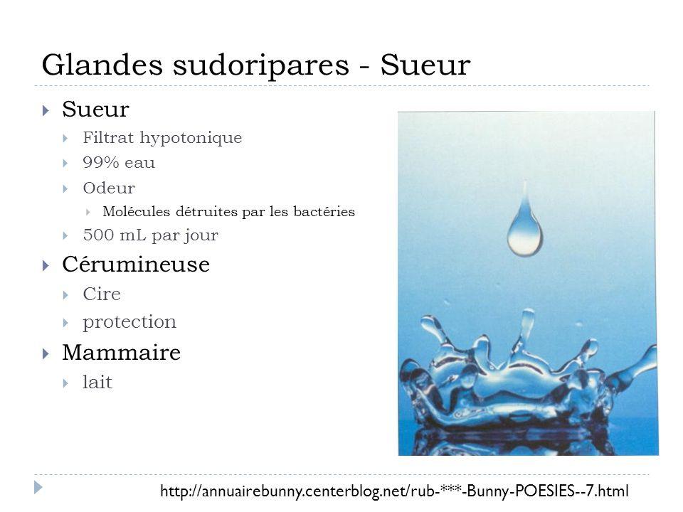 Glandes sudoripares - Sueur Sueur Filtrat hypotonique 99% eau Odeur Molécules détruites par les bactéries 500 mL par jour Cérumineuse Cire protection