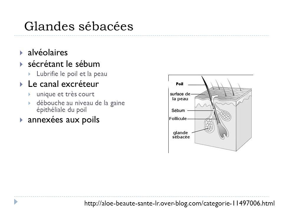 Glandes sébacées alvéolaires sécrétant le sébum Lubrifie le poil et la peau Le canal excréteur unique et très court débouche au niveau de la gaine épithéliale du poil annexées aux poils http://aloe-beaute-sante-lr.over-blog.com/categorie-11497006.html