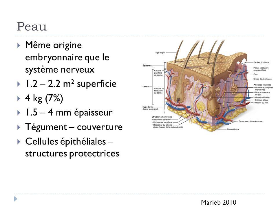 Peau Même origine embryonnaire que le système nerveux 1.2 – 2.2 m 2 superficie 4 kg (7%) 1.5 – 4 mm épaisseur Tégument – couverture Cellules épithéliales – structures protectrices Marieb 2010