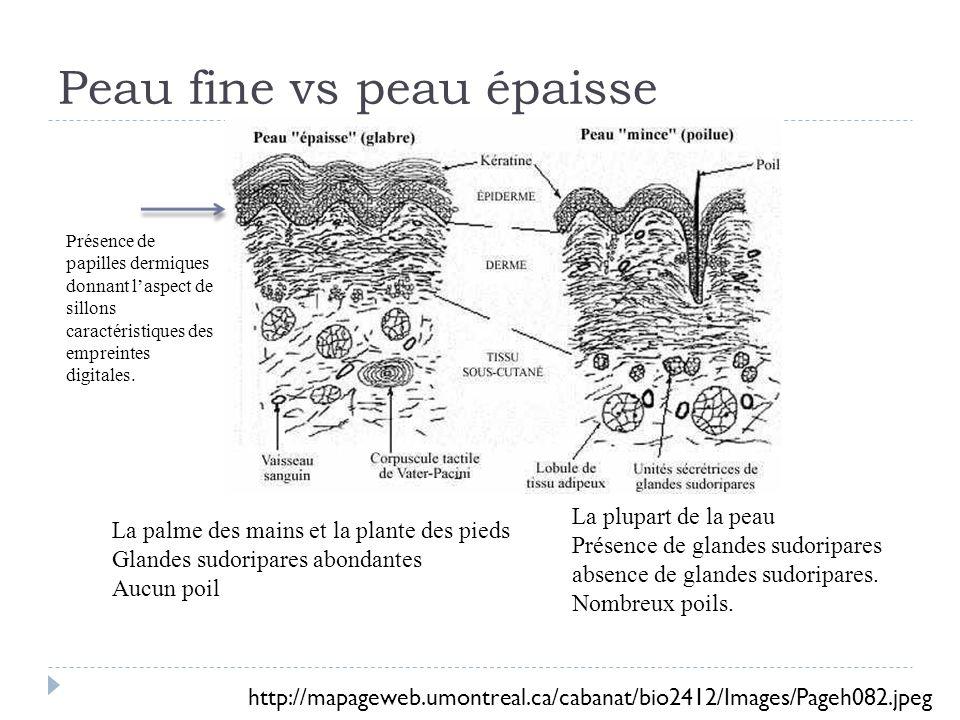 Peau fine vs peau épaisse La palme des mains et la plante des pieds Glandes sudoripares abondantes Aucun poil La plupart de la peau Présence de glandes sudoripares absence de glandes sudoripares.
