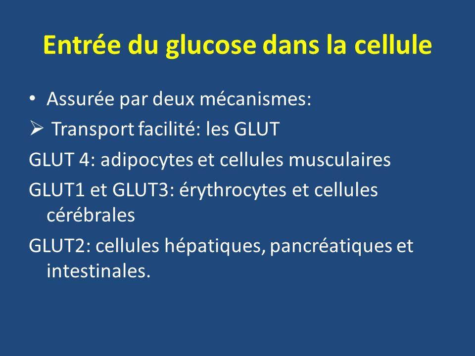 Entrée du glucose dans la cellule Transport actif: consomme de lénergie Le glucose est transporté contre un gradient de concentration.
