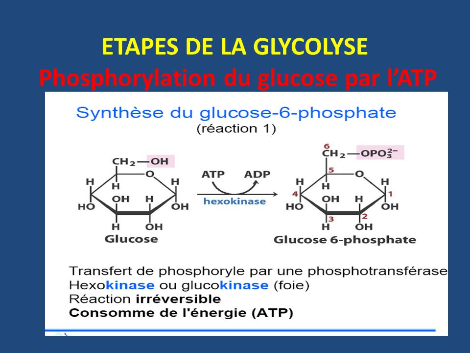 Etapes de la glycolyse phosphorylation du glucose par lATP Réaction irréversible Nécessite de lATP (consomme de lénergie) et du Mg++ Catalysée par: - Lhexokinase - Ou la glucokinase