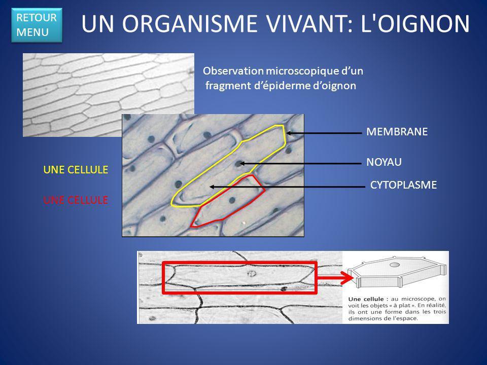 UN ORGANISME VIVANT: L'OIGNON Observation microscopique dun fragment dépiderme doignon MEMBRANE NOYAU CYTOPLASME RETOUR MENU RETOUR MENU UNE CELLULE