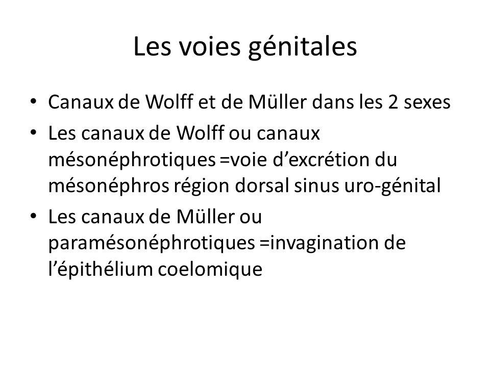 Les voies génitales Canaux de Wolff et de Müller dans les 2 sexes Les canaux de Wolff ou canaux mésonéphrotiques =voie dexcrétion du mésonéphros régio